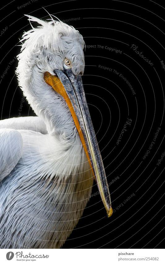 Nature Calm Animal Zoo Serene Exotic Wisdom Pelican