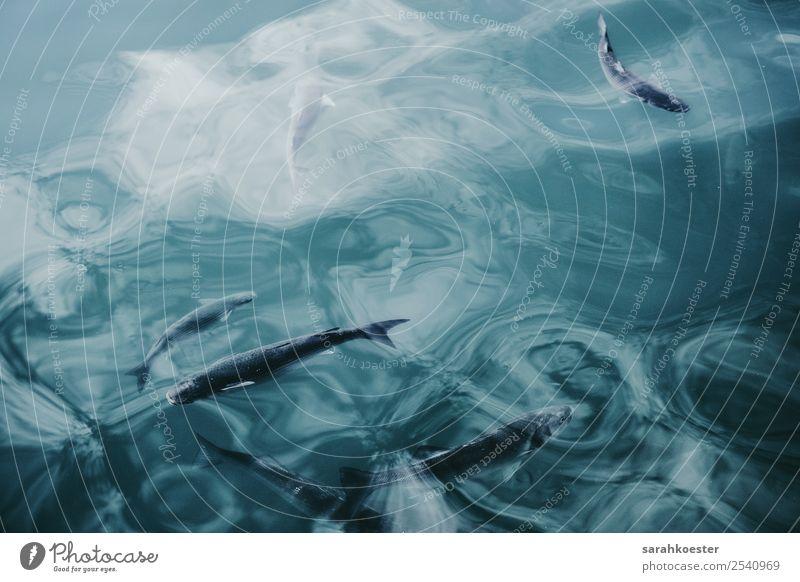 Fische schwimmen in glasklarem Wasser Nature Animal Water Waves Lakeside Reef North Sea Baltic Sea Ocean Wild animal Fish Aquarium Group of animals
