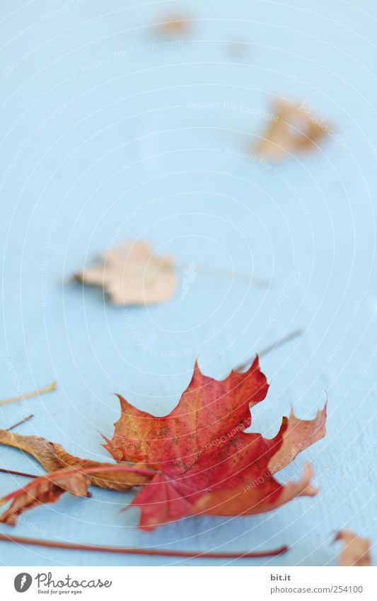 Nature Blue Plant Red Leaf Autumn Environment Lie Natural Climate Change Cloth Transience Dry Stalk Autumn leaves