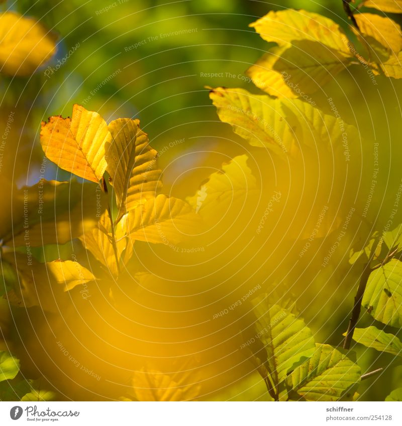 Nature Green Plant Colour Leaf Yellow Autumn Gold Illuminate Beautiful weather Branch Autumn leaves Autumnal Autumnal colours Leaf canopy Automn wood