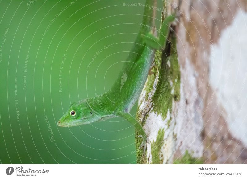 Green lizard in Punta Cahuita National Park Beautiful Skin Face Life Summer Man Adults Environment Nature Plant Animal Tree Forest Smiling Bright Small Wild