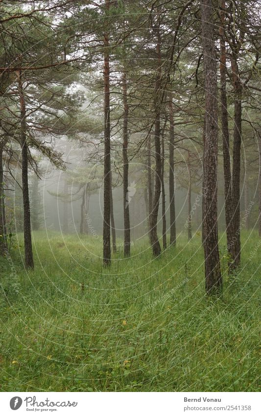 Foggy trees in the forest and cold Environment Nature Landscape Autumn Tree Forest Moody Calm Authentic Green Grass Pine Tall Isolated Idyll Deep Perspective