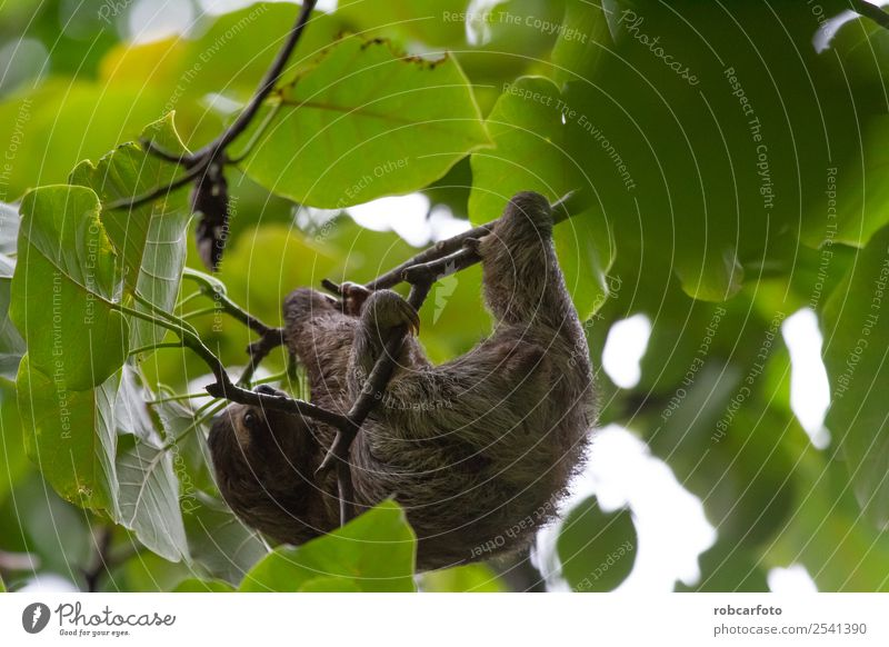 Lazy bear in Punta Cahuita Climbing Mountaineering Baby Animal Tree Forest Virgin forest Fur coat Sleep Cute Brown Green Sloths Ribs rica america Tropical