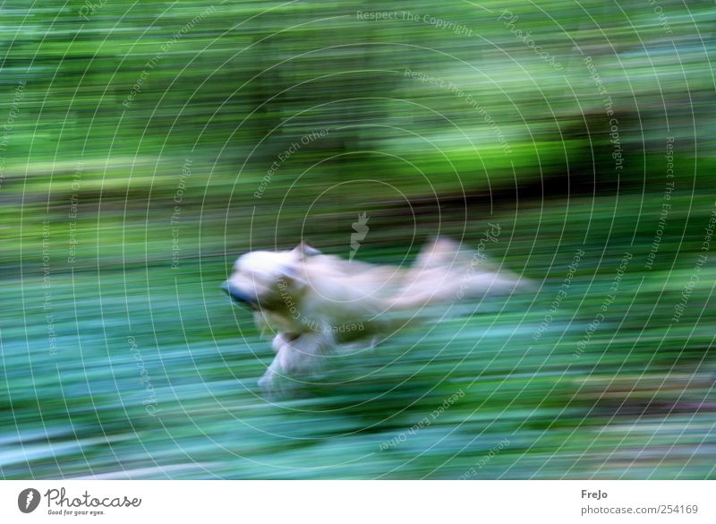 dog on the run Pet Dog 1 Animal Movement Walking Jump Green Power Endurance Golden Retriever Colour photo Experimental Day