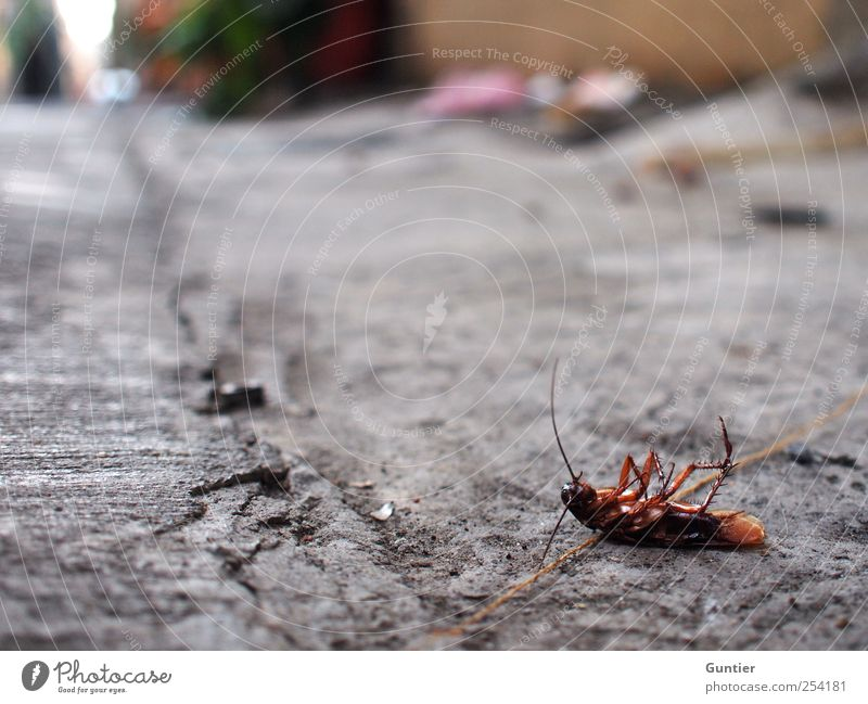 Animal Black Street Death Gray Legs Brown Lie Insect Asia Pavement Disgust Feeler Supine position Dead animal Oriental cockroach