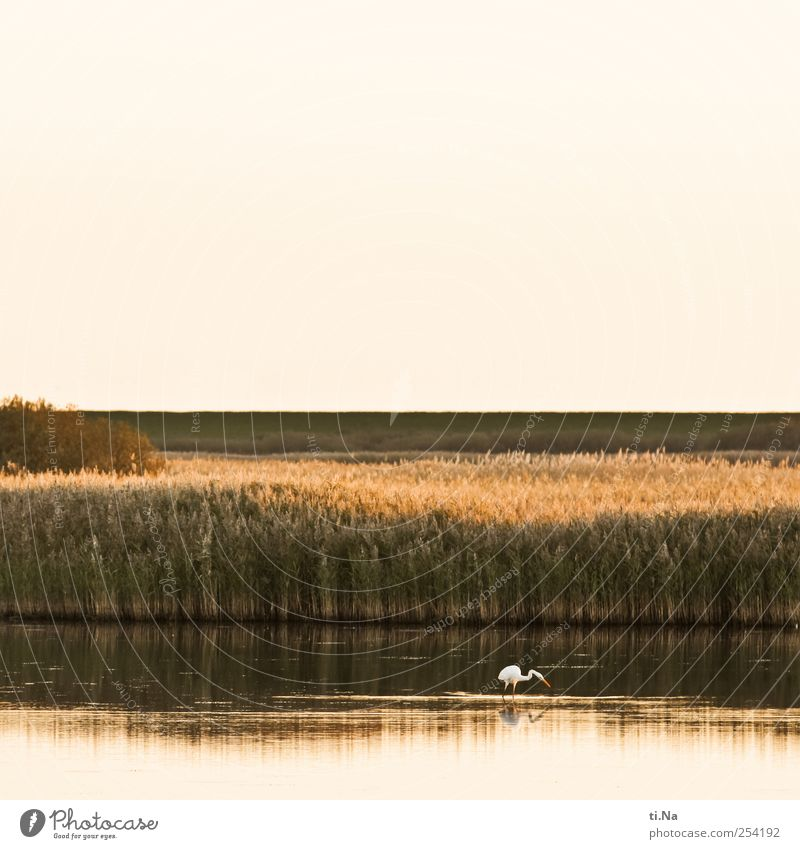 Great White Egret Environment Nature Landscape Plant Animal Water Autumn Beautiful weather Bushes reed grass Coast Lakeside North Sea coast storage cookie