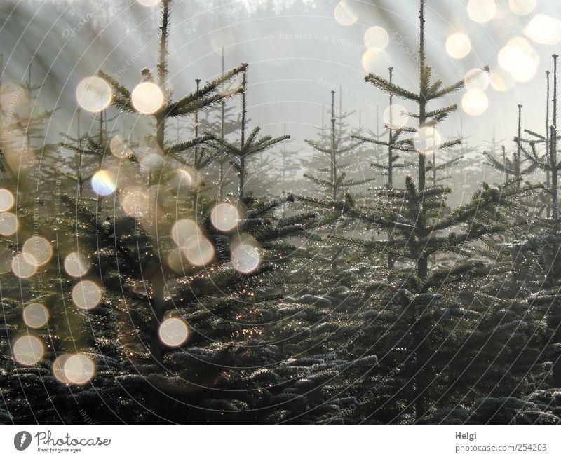 Fir trees in morning fog with backlight and light points Environment Nature Plant Sky Autumn Fog Ice Frost Tree Agricultural crop Spruce Plantation