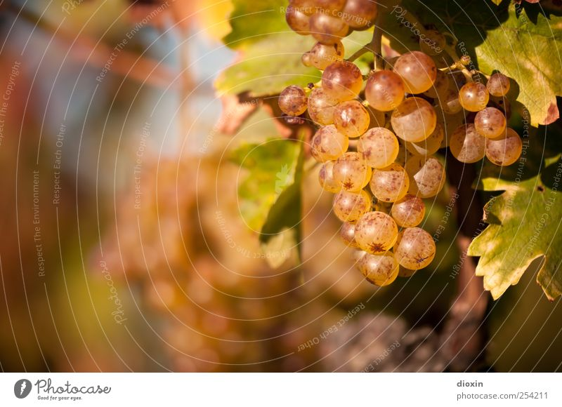 Nature Plant Leaf Autumn Environment Growth Sweet Vine Agriculture Delicious To enjoy Alcoholic drinks Juicy Sparkling wine Forestry Bunch of grapes