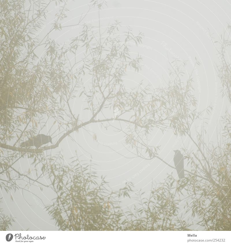 Nature Tree Plant Animal Environment Gray Bird Together Sit Fog Pair of animals Natural In pairs Branch Willow tree Crouch