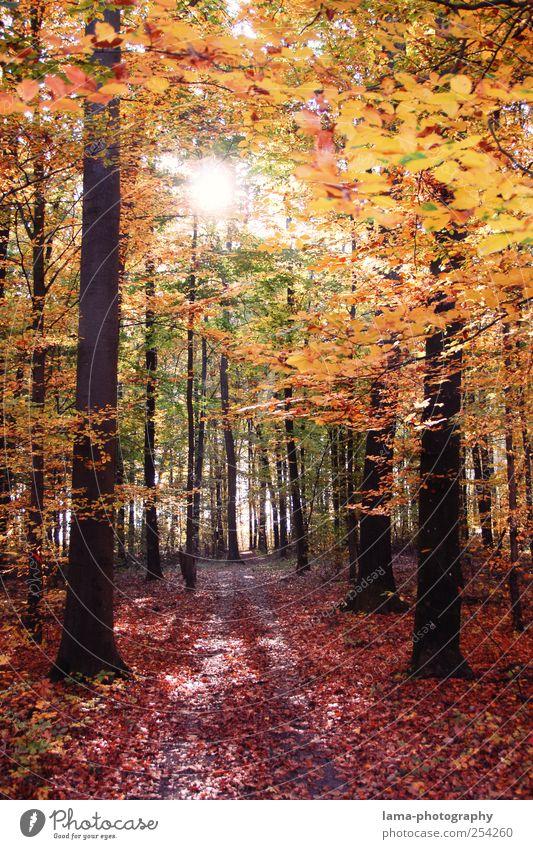 leaves orange Sunlight Autumn Beautiful weather Tree Forest Automn wood Autumn leaves Autumnal landscape Autumnal colours Deciduous forest Leaf Illuminate