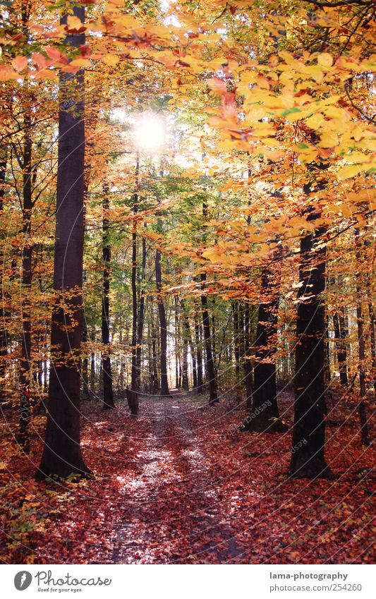 Tree Red Leaf Forest Yellow Autumn Lanes & trails Gold Illuminate Footpath Seasons Beautiful weather Autumn leaves Autumnal Autumnal colours Deciduous forest