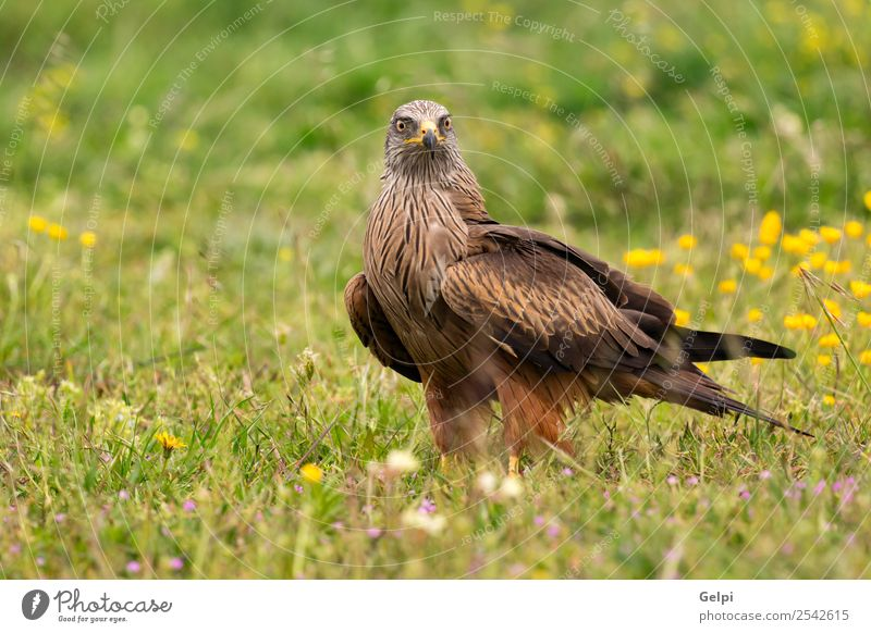 Beautiful adult black kite Elegant Freedom Nature Animal Grass Bird Wing Flying Natural Cute Wild Yellow Gold Red Black White wildlife predator Feather raptor