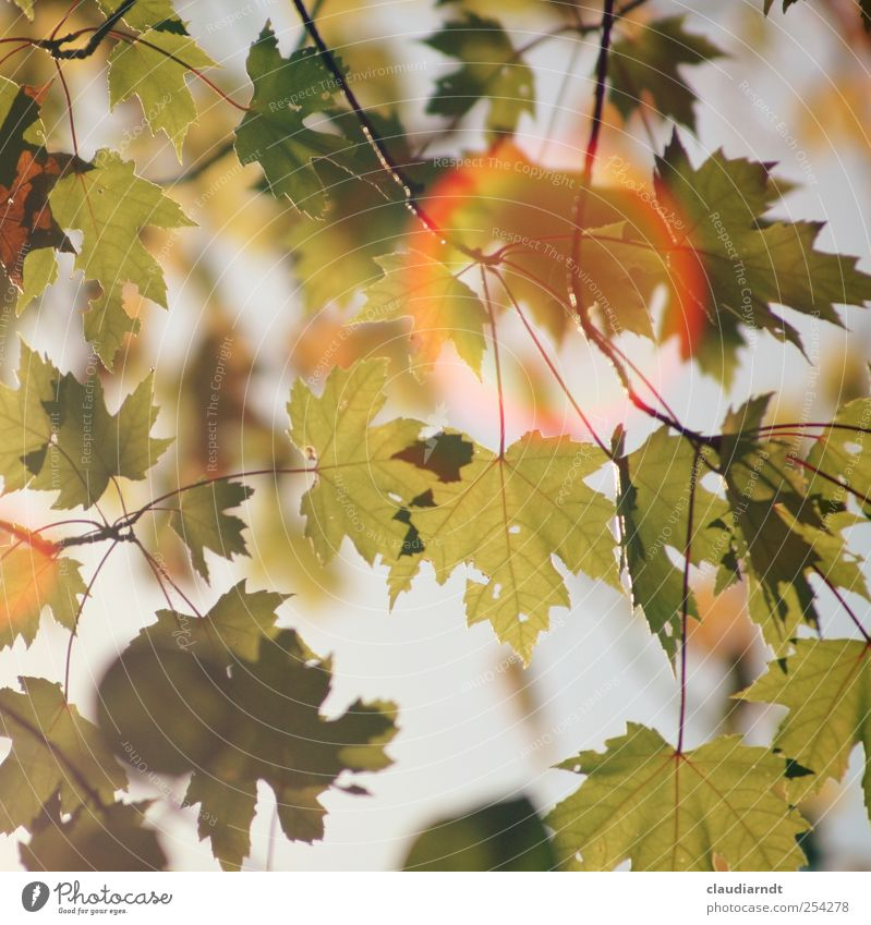 light ring Environment Nature Plant Autumn Beautiful weather Tree Leaf Maple leaf Maple tree Lens flare Glare effect Visual spectacle Warm colour