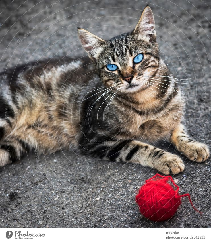 gray striped street cat Summer Animal Pet Cat 1 Looking Playing Cute Blue Gray Red Joy tabby Domestic running Kitten young eye Mammal Striped ball Colour photo
