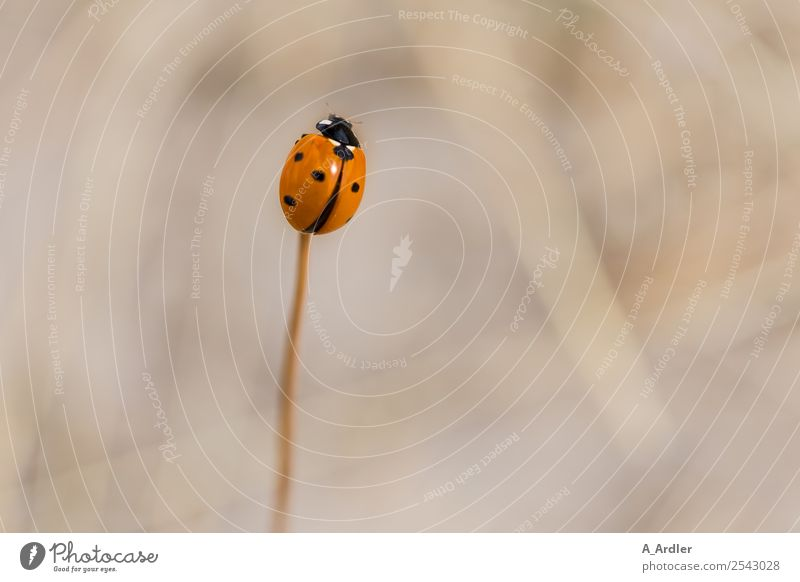 ladybugs Nature Garden Animal Beetle 1 Small Brown Red Black Love of animals ardler Blur Point Colour photo Subdued colour Exterior shot