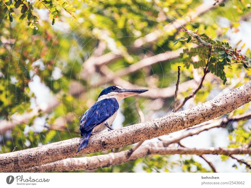 observer Malaya leaves Tree Branch Kingfisher Blue Trip Tourism Far-off places Freedom Vacation & Travel Adventure Nature Landscape Wild animal Bird Animal face