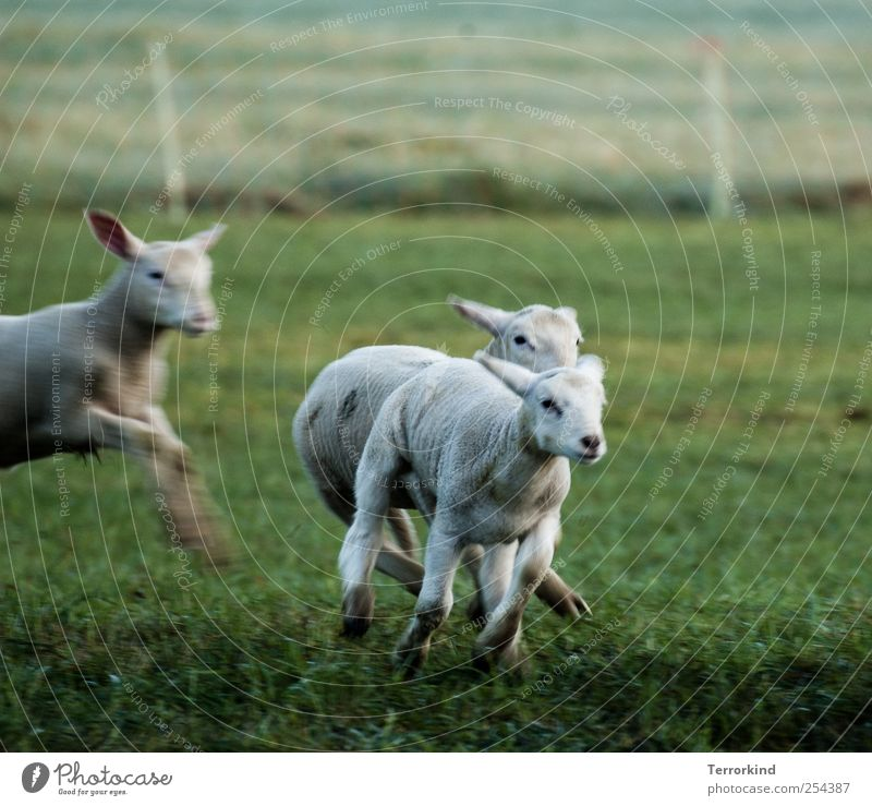 White Green Meadow Playing Movement Small Walking Running Soft Pelt Catch Sheep Juicy Lamb Beat