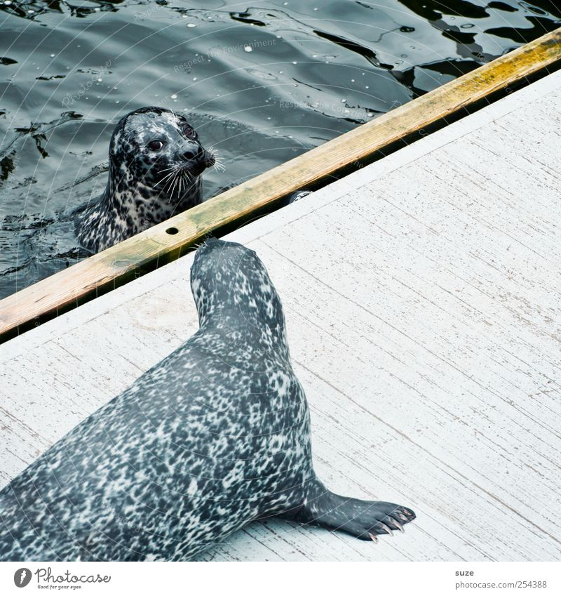 I am your father Swimming & Bathing Ocean Waves Nature Animal Water Wild animal Animal face 2 Pair of animals Observe Curiosity Cute Blue Seals Harbour seal