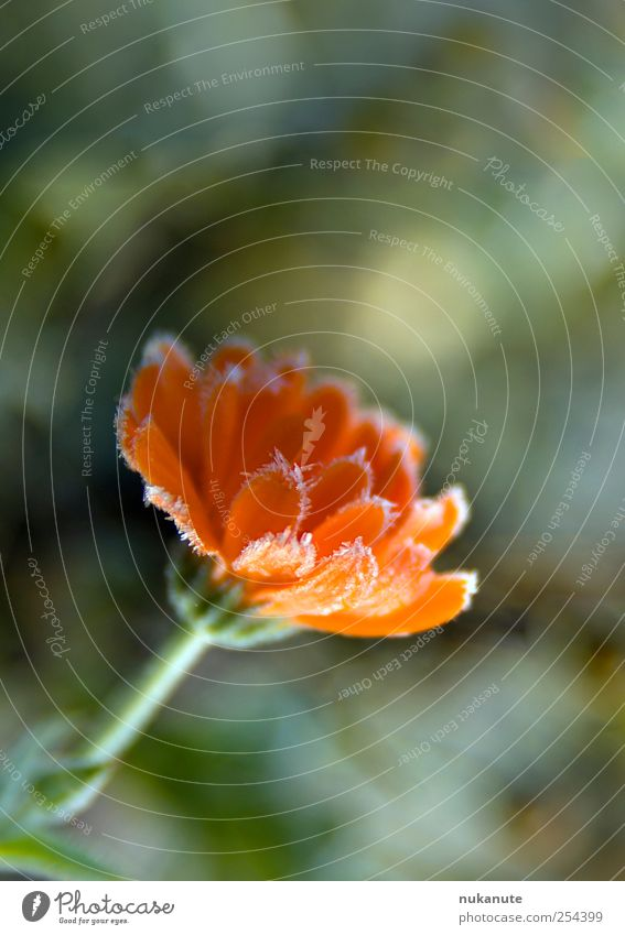 calendula freezes Calm Nature Plant Autumn Winter Ice Frost Flower Blossom Agricultural crop Marigold Medicinal plant Blossoming Fragrance Illuminate Fresh Cold