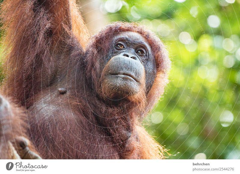 human Vacation & Travel Tourism Trip Adventure Far-off places Freedom Wild animal Animal face Pelt Orang-utan Monkeys 1 Observe Exceptional Beautiful Meditative