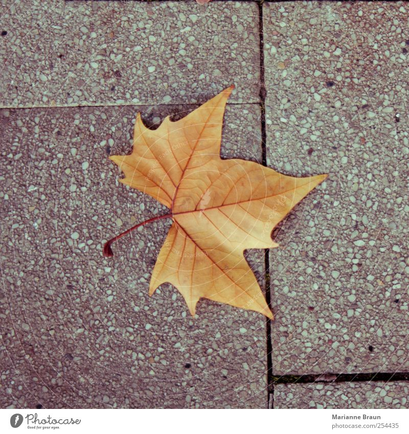 And another Leaf Yellow Gray Red Maple leaf Autumn Autumn leaves Sidewalk Autumnal colours Seasons Maple tree Rachis Veined Structures and shapes Concrete