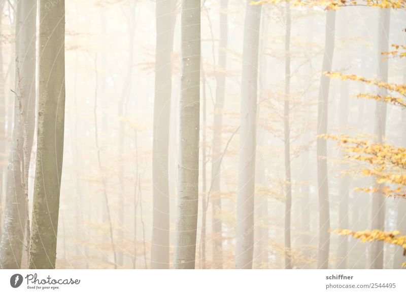 Fuzzy forest I. Environment Nature Autumn Bad weather Fog Plant Tree Forest Yellow Automn wood Bright Diffuse Exterior shot Deserted
