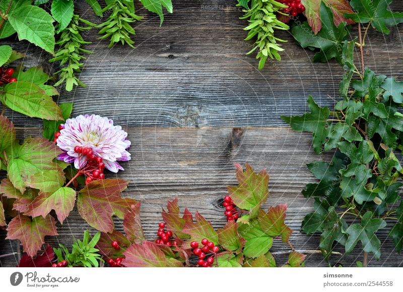 coloured foliage on wood background Handicraft Summer Nature Plant Autumn Flower Leaf Wood Blue Red Background picture Berries viburnum Beech tree Dahlia