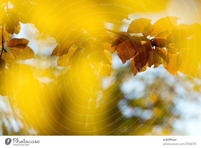 Color frenzy IV Plant Autumn Beautiful weather Tree Leaf Brown Yellow Illuminate Bright Colours Autumn leaves Autumnal Autumnal colours Automn wood Leaf canopy