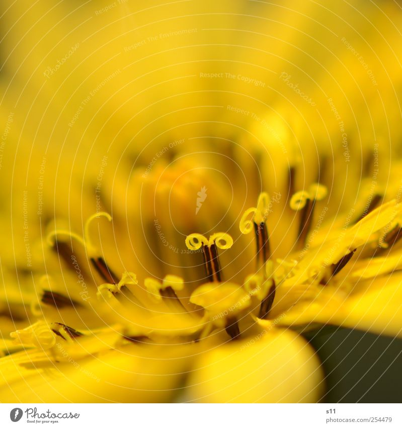 yellow miracle Nature Plant Flower Blossom Garden Blossoming Illuminate Esthetic Exceptional Elegant Exotic Beautiful Yellow Spiral Structures and shapes