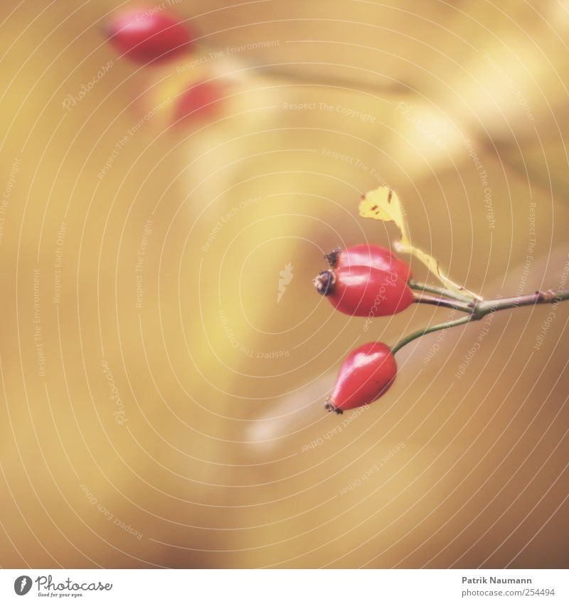 Nature Red Plant Yellow Autumn Gold Fruit Elegant Natural Esthetic Bushes Round Branch Beautiful weather Near Blossoming