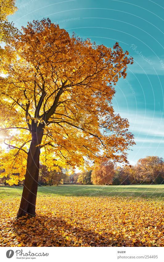 naturally blonde Environment Nature Landscape Plant Sky Autumn Climate Weather Beautiful weather Tree Park Meadow Blue Yellow Gold Autumnal Early fall