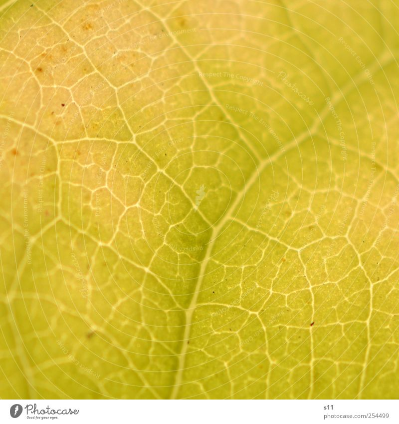 Structure of nature Environment Nature Plant Tree Leaf Glittering Illuminate Exceptional Thin Sharp-edged Elegant Fantastic Natural Yellow Easy Autumn