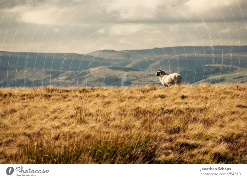 Peak District VIII Environment Nature Landscape Plant Animal Climate Beautiful weather Farm animal Sheep 1 Brown Grass Meadow Exterior shot Loneliness