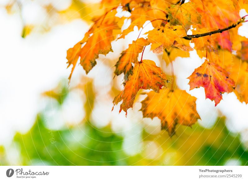 Colorful leaves as background for autumn concepts Wallpaper Environment Nature Autumn Tree Leaf Bright Natural Yellow Gold Red November October Atmosphere