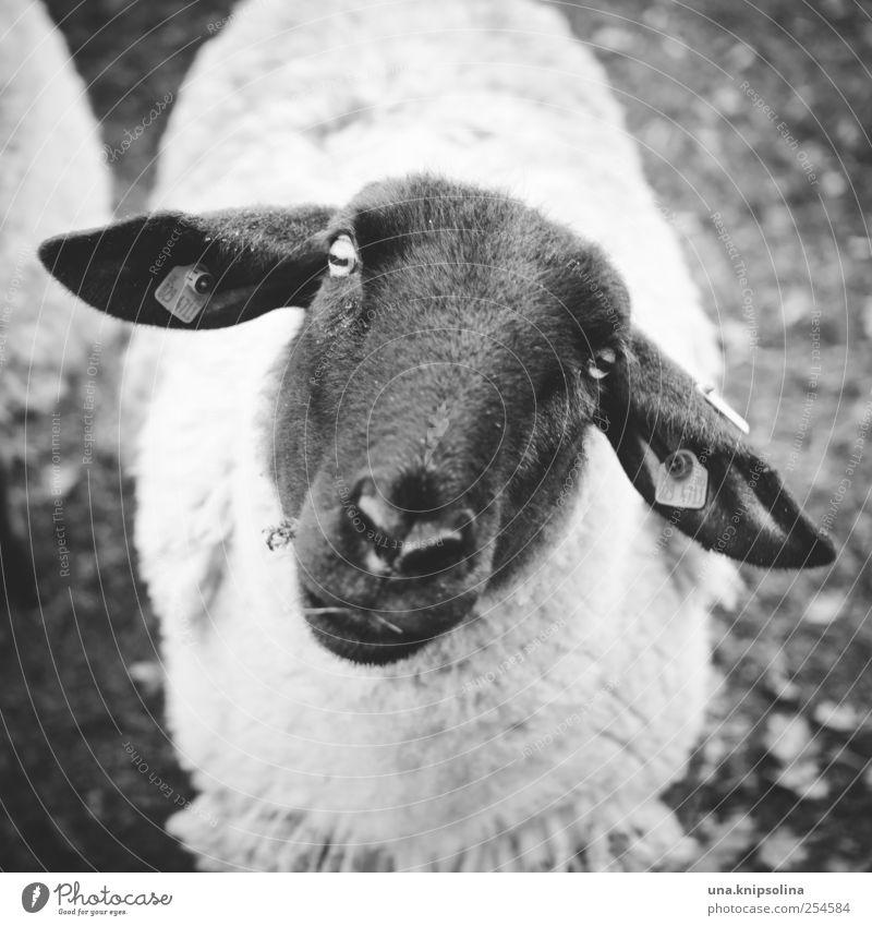 Faithful soul Environment Nature Animal Farm animal Animal face Pelt Sheep 1 Observe Friendliness Natural Cute Black White Trust Innocent Wool Baaa