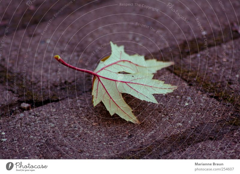 veins Leaf Green Red Maple tree Maple leaf Rachis Veined Dew Water Drops of water Cobblestones Paving stone Seam Moss Autumn leaves Fallen Structures and shapes
