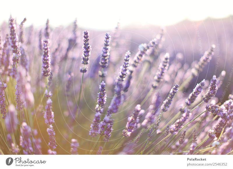 #A# Purple Scent Environment Nature Landscape Plant Esthetic Contentment Fragrance Violet Lavender Lavender field Lavande harvest Provence France Blossoming