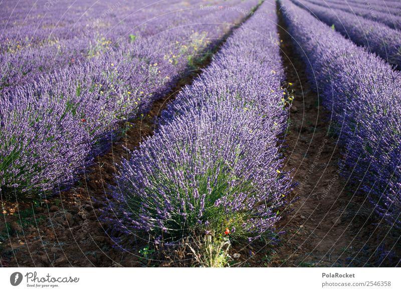 #A# Beauty Strip Environment Landscape Esthetic France Provence Violet Lavender Lavender field Lavande harvest Blossoming Green pastures Colour photo