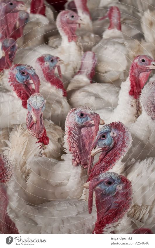 for a better life Meat Animal Farm animal Bird Hen Turkey Group of animals Hideous Love of animals Environment Environmental protection Posture