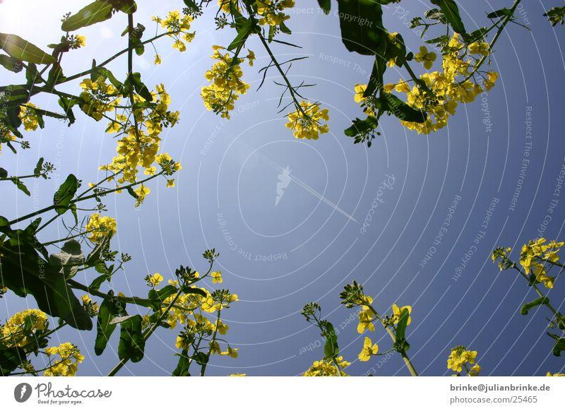 Sky in rape Canola Airplane Krefeld Green Yellow Blue Lie