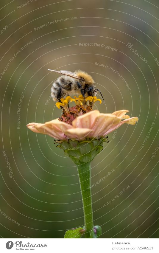 collector Nature Plant Animal Autumn Beautiful weather Flower Blossom Garden Honey bee wild bee Bumble bee 1 Blossoming To feed Success Sustainability Brown