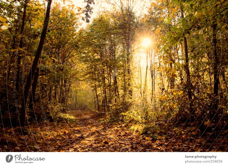 Green Tree Leaf Forest Yellow Autumn Lanes & trails Gold Illuminate Footpath Autumn leaves Autumnal Decide Automn wood Autumnal landscape