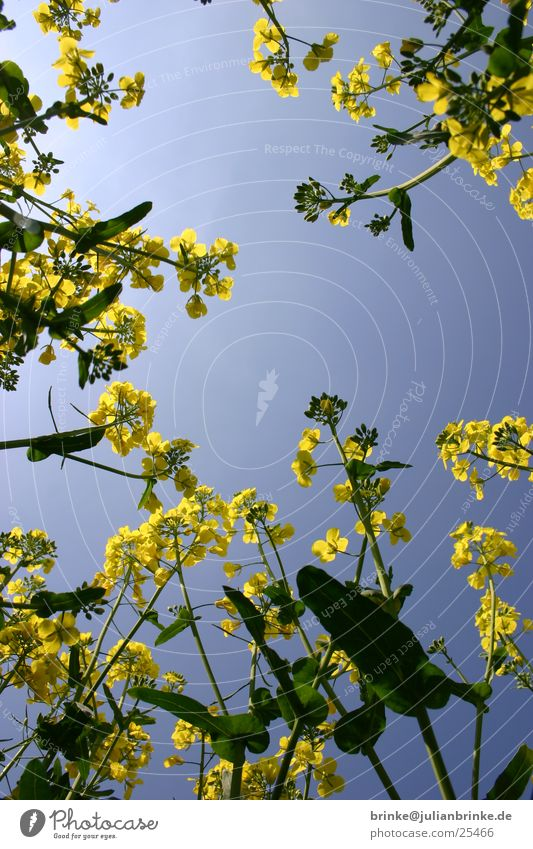 Sky Green Blue Yellow Lie Canola Krefeld