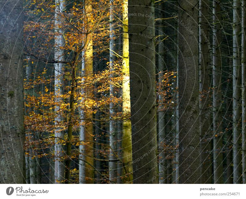 residual light Nature Sunrise Sunset Autumn Forest Moody Shaft of light Beech tree Autumn leaves Goodbye Last Colour photo Multicoloured Copy Space right