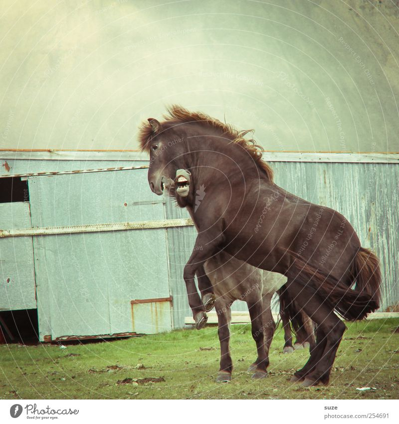 Free game Environment Nature Animal Meadow Farm animal Wild animal Horse 2 Fight Esthetic Natural Moody Power Willpower Might Mane Iceland Animalistic Adversary