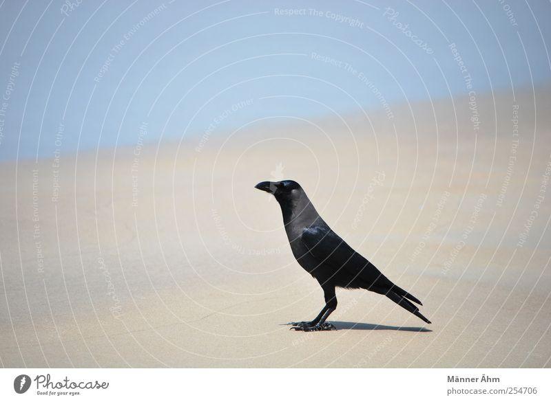 Ocean Beach Black Sand Bird Horizon India Crow Raven birds Goa