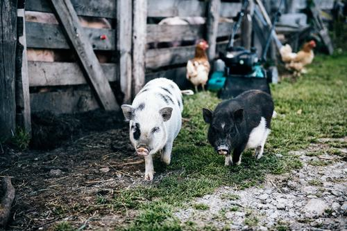 mini pigs Nature Landscape Summer Beautiful weather Meadow Pet Swine Pigs Movement Going Walking Brash Together Small Natural Cute Friendship Love of animals