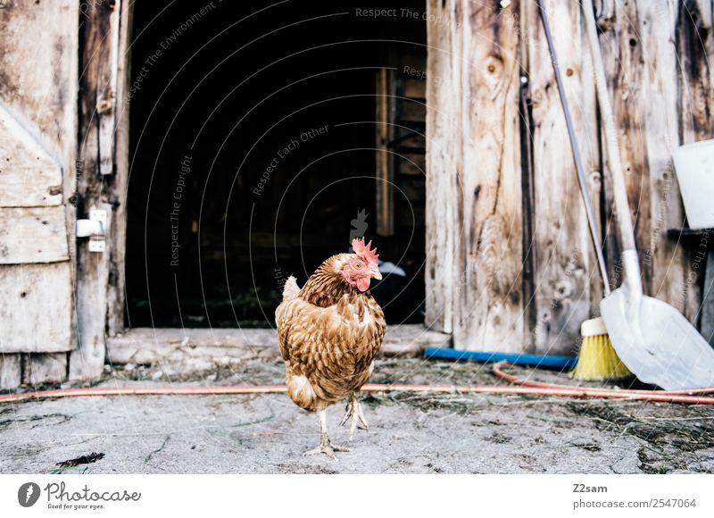 Proud cock Environment Hut Farm animal Rooster 1 Animal Stand Elegant Brash Power Arrogant Pride Identity Idyll Uniqueness Sustainability Nature Barn Tidy up