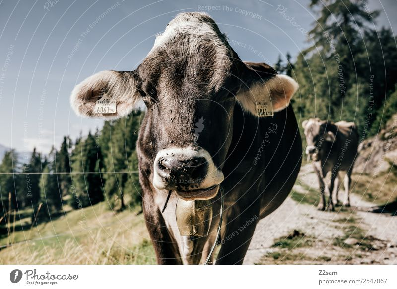Pitztal calf Mountain Hiking Nature Landscape Sky Summer Beautiful weather Forest Alps Cow Looking Friendliness Happy Brown Serene Calm Sustainability