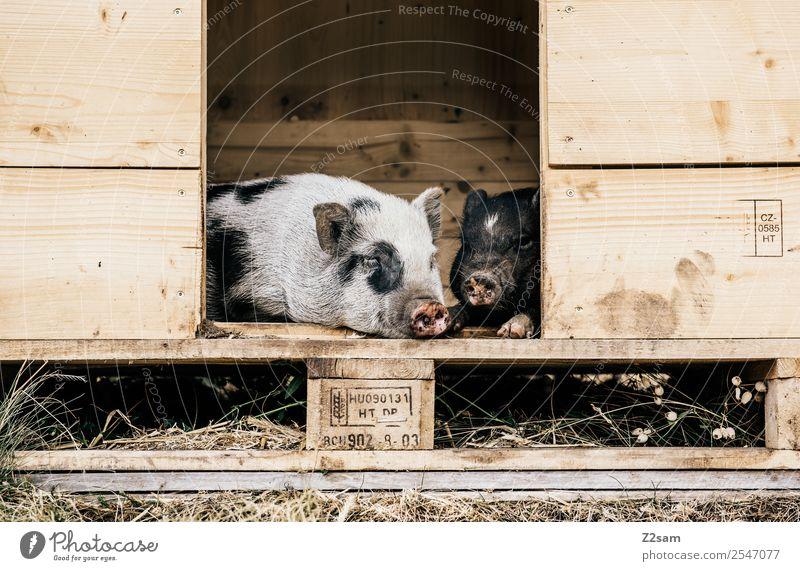 mini pigs Nature Landscape Summer Meadow Pet Swine 2 Animal Relaxation To enjoy Lie Sleep Natural Cute Love Love of animals Infatuation Caution Serene Calm